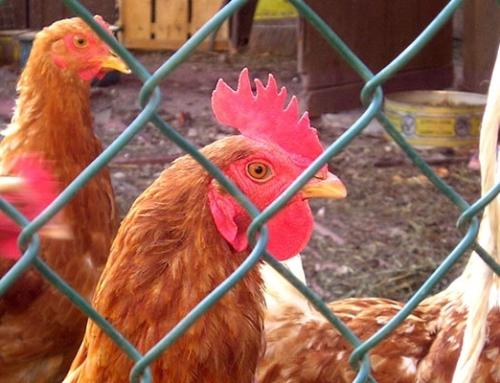 Ending cruelty in hen slaughter