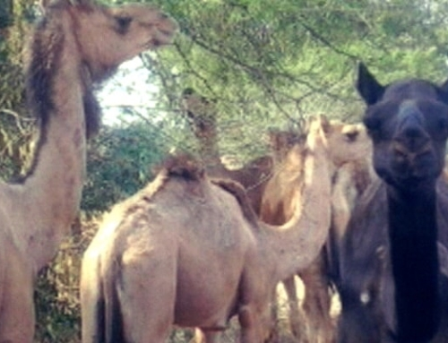87 camels rescued from Ranga Reddy district