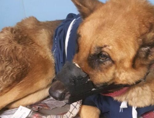 Lucy – Abandoned GSD